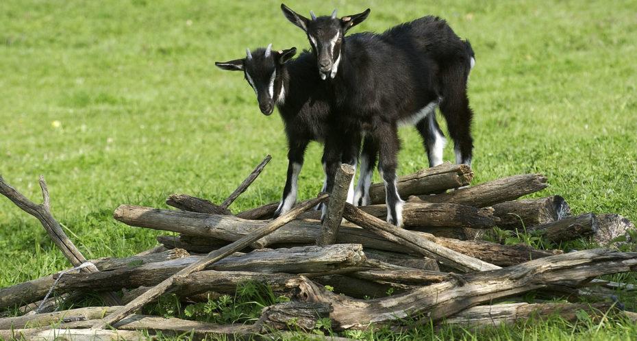 les chèvres a la ferme pédagogique du Peu
