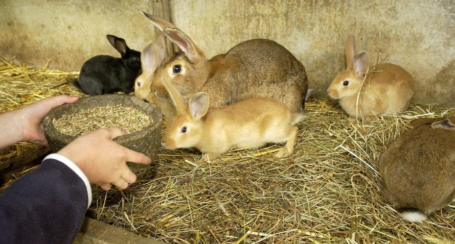 Nourrissage des lapins