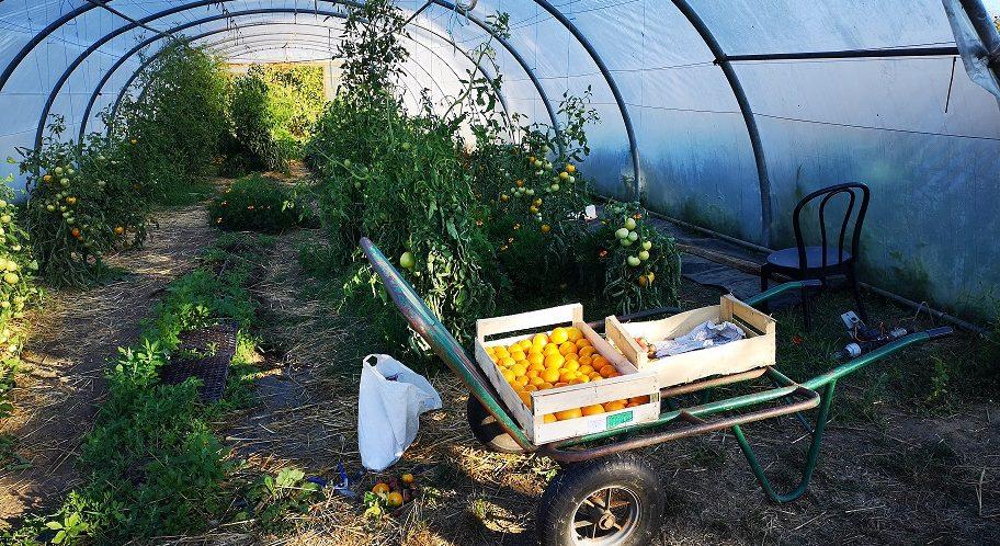 tomates dans le jardin du Peu